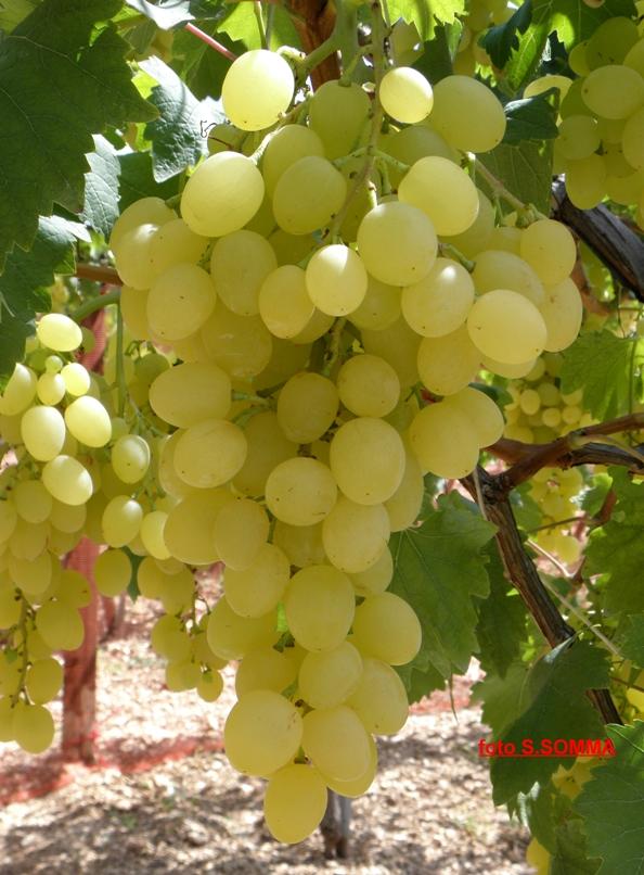 Agrisoil analisi terreno acqua nutrizione uva da - Uva da tavola coltivazione ...