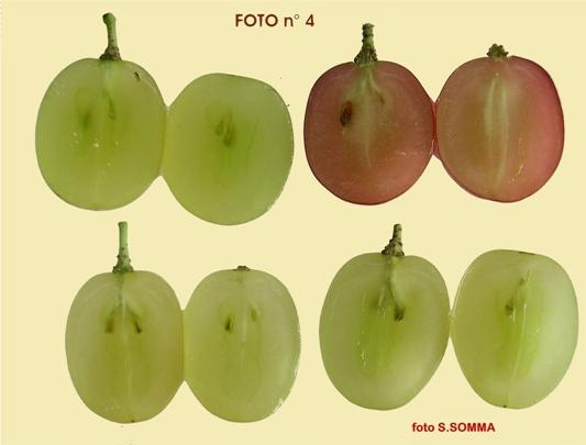 Diverse varietà di uve apirene in sezione che presentano il seme erbaceo
