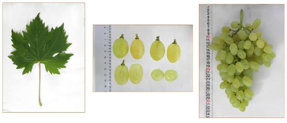 Caratteristiche della foglia, degli acini e del grappolo della selezione apirena c-17