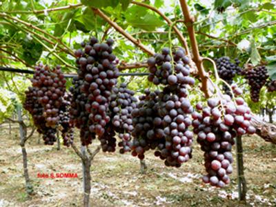 Agrisoil analisi terreno acqua nutrizione uva da tavola vite concimazione malattie - Potatura uva da tavola ...