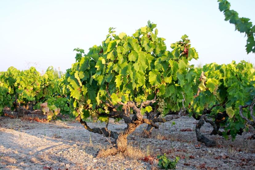 Agrisoil analisi terreno acqua nutrizione uva da for Piante ad alberello