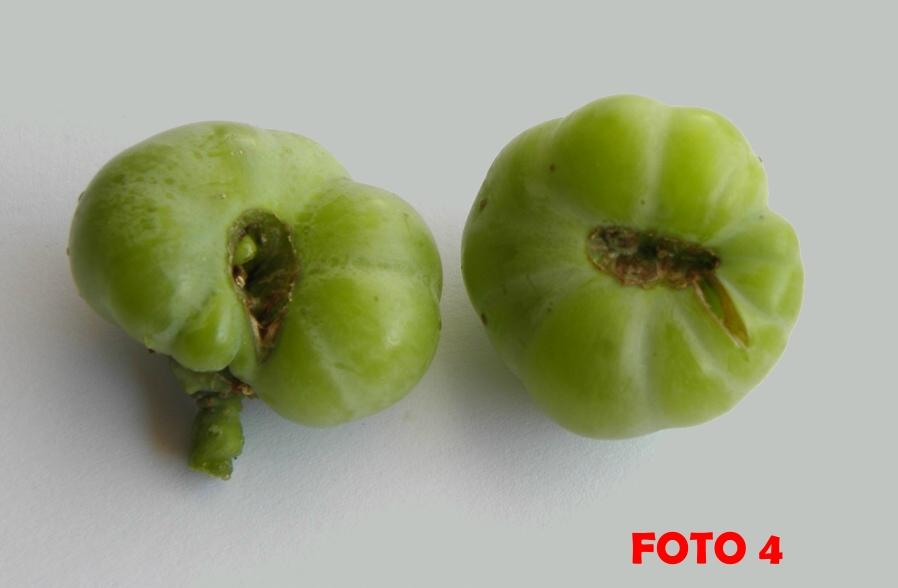 Acini pluricarpellari a forma di pomodoro