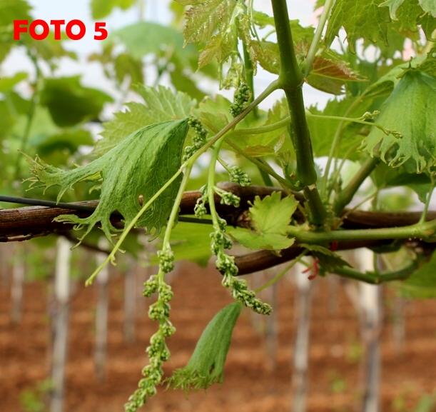 Foto 5 grappoli sfilati