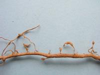 Galle di nematodi su radici di vite