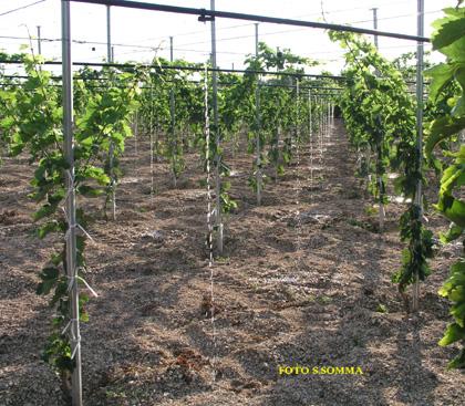 Agrisoil analisi terreno acqua nutrizione uva da for Irrigazione vigneto