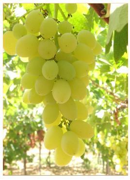 Grappolo uva selezione C-14