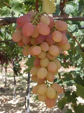 Nuova varietà di uva in fase di selezione